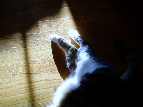 Cat in Sunbeam